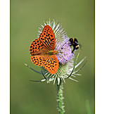 Butterfly, Silver washed fritillary, Butterfly