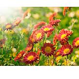 Flower, Flower Meadow, Chrysanthemum