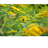 Goldenrod, Canadian goldenrod