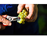 Grape, Harvest, Vintage