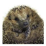 Wildlife, Hedgehog