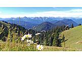 Flower meadow, Marguerite, Alpine foreland
