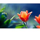 Natur, Tulpe