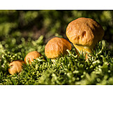 Boletus, Mushroom