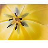 Makro, Tulpe, Blütenstempel