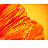 Close-up, Poppy, Orange