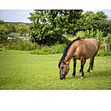 Pferd, Grasen, Koppel