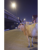 Nightlife, Cow, Cattle, India, Delhi