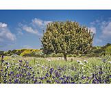 Tree, Mediterran, Sicily, Holm oak