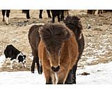 Wind, Sheepdog, Icelandic Horse