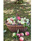Apple harvest, Streuobst meadow, Organic fruits