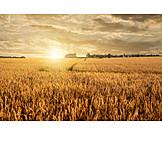 Landwirtschaft, Weizenfeld, Getreidefeld