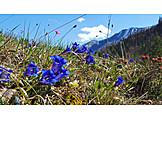 Alpine flower, Gentian, Mountain gentian