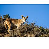 Wildlife, Kojote