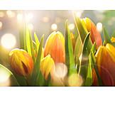 Frühjahr, Tulpe