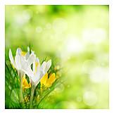Frühjahr, Krokusse