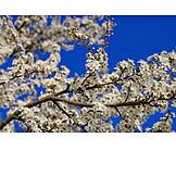 Close-up, Fruit Flower, Plum Blossom