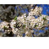 Makro, Obstblüte, Pflaumenblüte
