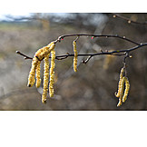 Catkin, Common hazel