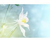 Backgrounds, Flower, Floral, Aquilegia