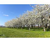 Kirschbaum, Frühling, Obstbaum, Obstanbau, Obstwiese
