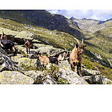 European alps, South tyrol, Goat herd