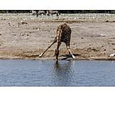 Drinking, Giraffe, Etosha national park