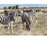 Plains zebra, Zebra herd