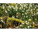 Spring, Leucojum Vernum