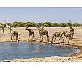 Water body, Giraffe, Etosha national park