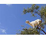 Goat, Argan