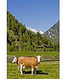 Cows, Zillertal Alps