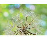 Dew, Dandelion, Seed