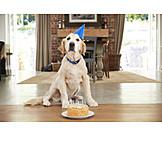 Birthday, Labrador, Birthday Cake