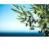 Olives, Olive branch