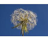 Dandelion, Dandelion Seeds