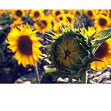 Sunflower, Bud