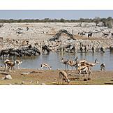 Drinking, Waterhole, Etosha National Park, Wildlife