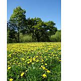 Dandelion Meadow, Dandelion