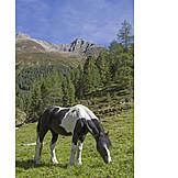 Pferd, Grasen, ötztaler Alpen