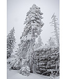 Majestic, Snow, Pine Tree