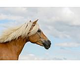 Pferd, Haflinger