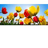 Blumen, Frühling, Tulpen