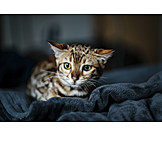 Cat, Leopard Cat