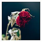 Rose, Memory, Faded
