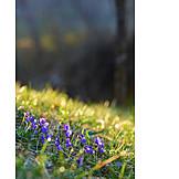 Frühjahr, Wiese, Leberblümchen
