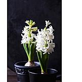 Flower, Hyacinth