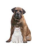 Katze, Boerboel