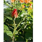 Rose, Bud