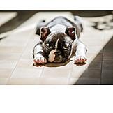 Tierjunges, Hund, Boston Terrier